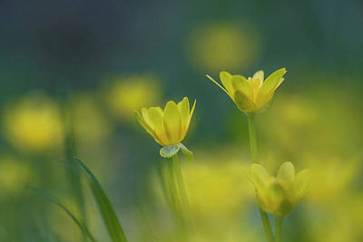 Blue Fig Photograph - Yellow Fig Buttercups Against The Blue Sky by Susan Schmidt