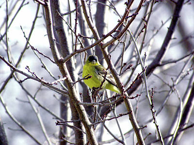 Photograph - Yellow Finch by Bonnie Muir