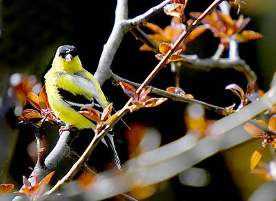 Yellow Finch Art Print by Pat Carosone