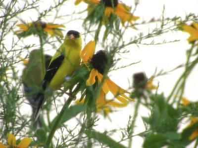 Flower Creations Photograph - Yellow Finch by Rachel Christine Nowicki