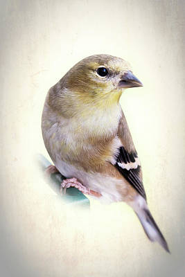 Photograph - Yellow Finch by Richard Macquade