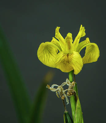 Photograph - Yellow Flag Iris by Rick Mosher