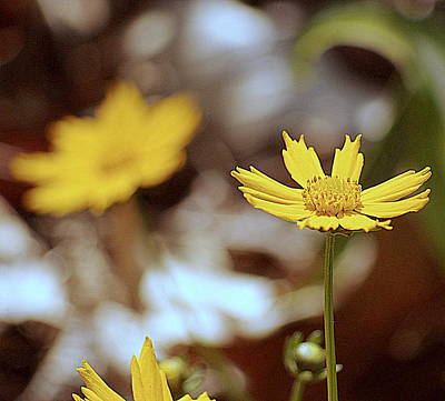 Photograph - Yellow Flower by Buddy Scott