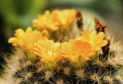 Photograph - Yellow Flower - Cactus Parodia Chrysacanthion  by Cristina Stefan