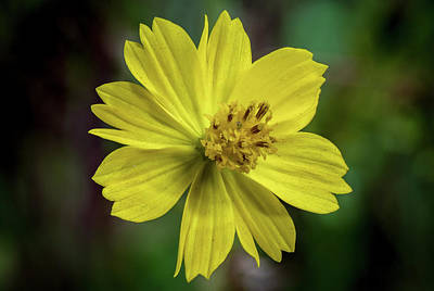 Art Print featuring the photograph Yellow Flower by Ed Clark