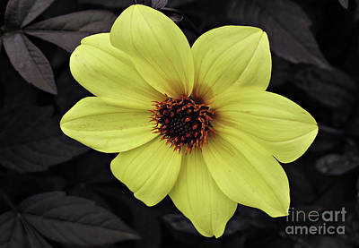 Photograph - Yellow Flower by Ethna Gillespie