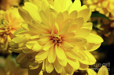Photograph - Yellow Flower by Nina Ficur Feenan