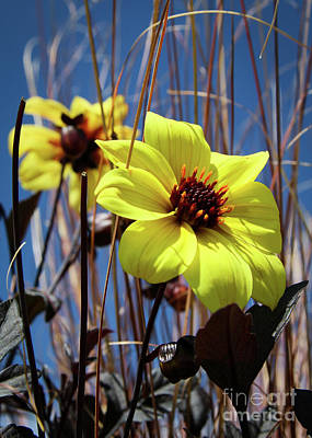 Photograph - Yellow Flower  by Vincent Bonafede