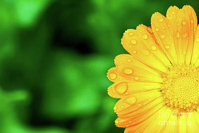 Photograph - Yellow Flower With Water Drops On Petals by Michal Bednarek
