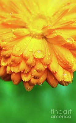 Photograph - Yellow Flower With Wet Petals Close-up. by Michal Bednarek