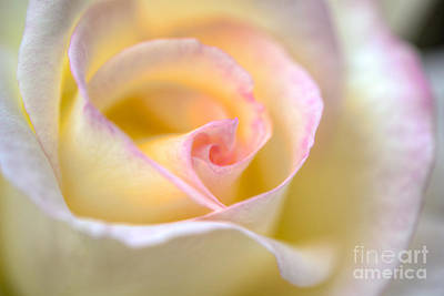 Photograph - Yellow Flowering Rose by David Zanzinger