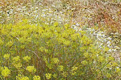 Fragua Photograph - Yellow Flowers And Chamomile On La Fragua Ranch In Patagonia Near Bariloche-argentina   by Ruth Hager