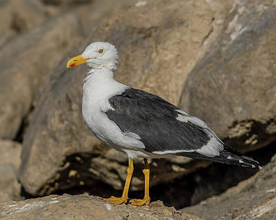 Bono Photograph - Yellow-footed Gull Looking by Morris Finkelstein