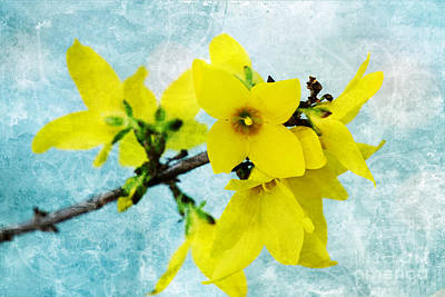 Photograph - Yellow Forsythia Flowers On Aqua by Jim And Emily Bush