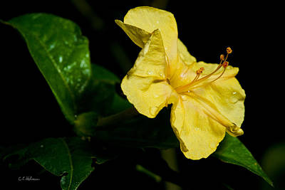 Photograph - Yellow Four O-clock by Christopher Holmes