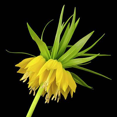 Yellow Fritillaria Imperialis Art Print by Jim Hughes