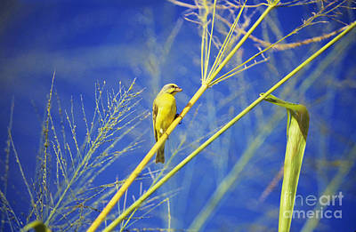 Yellow Fronted Canary Art Print by Bob Abraham - Printscapes