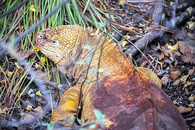 Land Iguana Photograph - Yellow Galapagos Land Iguana by Jess Kraft