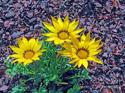 Photograph - Yellow Gazania Flowers by Kay Novy