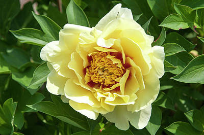 Photograph - Yellow Gem. Beauty Of Peony Flowers by Jenny Rainbow