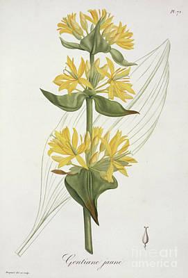Yellow Gentian Art Print