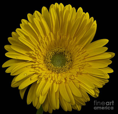Photograph - Yellow Gerber Sunshine by Shirley Mangini