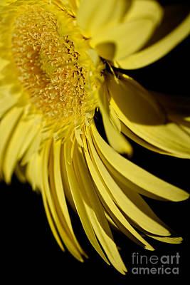 Photograph - Yellow Gerbera Daisy By Kaye Menner by Kaye Menner