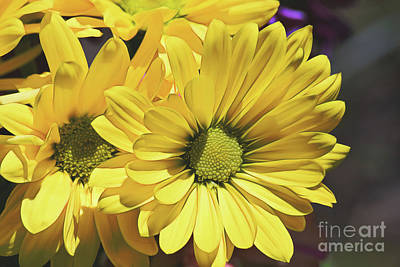 Photograph - Yellow Gerbera by Patti Whitten