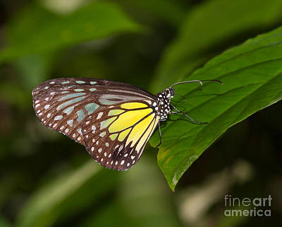 Glassy Wing Photograph - Yellow Glassy Tiger Butterfly by Louise Heusinkveld