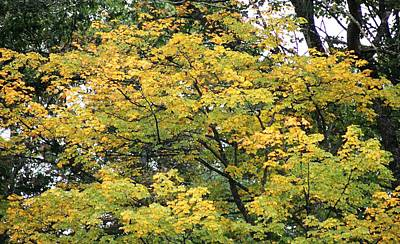 Photograph - Yellow Gold Fall Tree by Ellen Barron O'Reilly