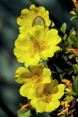 Photograph - Yellow Gold Purslane Blooms  by Kathy Clark