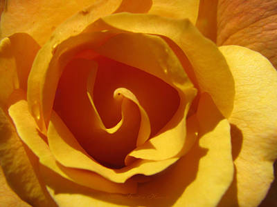 Photograph - Yellow Gold Swirl 2 - Roses From The Garden by Brooks Garten Hauschild