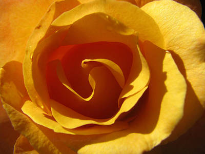 Photograph - Yellow Gold Swirl - Rose Macro by Brooks Garten Hauschild