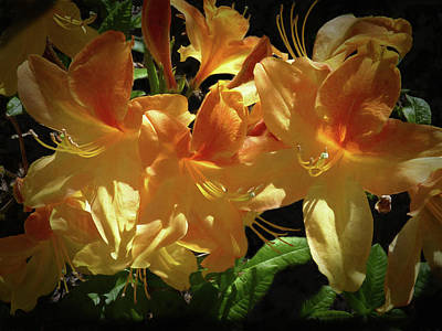 Photograph - Yellow Golden Flame Azaleas by Donna Kennedy