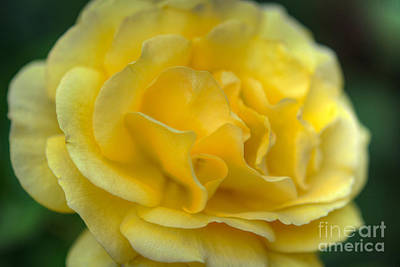 Photograph - Yellow Golden Single Flower by David Zanzinger