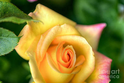 Photograph - Yellow Golden Single Rose by David Zanzinger