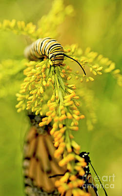 Photograph - Yellow Goldenrod With Monarch Butterfly And Caterpillar Photo by Luana K Perez