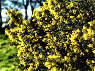 Photograph - Yellow Gorse by Nick Bywater