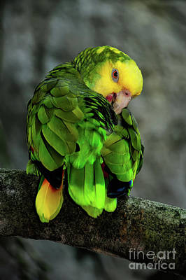 Photograph - Yellow Headed Amazon by Lois Bryan