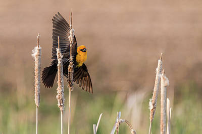 Photograph - Yellow-headed Blackbird #10 by Patti Deters