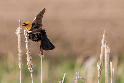 Photograph - Yellow-headed Blackbird #11 by Patti Deters
