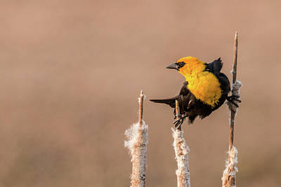Photograph - Yellow-headed Blackbird #8 by Patti Deters