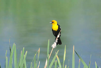 Photograph - Yellow Headed Blackbird by Alan Lenk