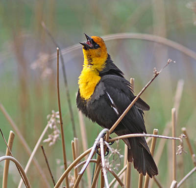 Male Photograph - Yellow-headed Blackbird by Gary Wing