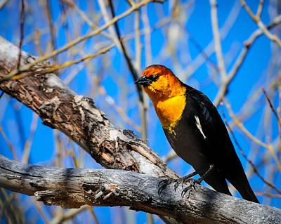 Photograph - Yellow-headed Blackbird by Greg Norrell