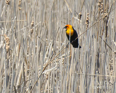 Photograph - Yellow-headed Blackbird by Kathy M Krause
