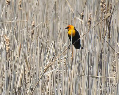 Photograph - Yellow-headed Blackbird by Kathy M Krause