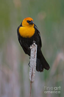 Photograph - Yellow-headed Blackbird by Katie LaSalle-Lowery