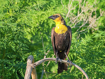Photograph - Yellow Headed Blackbird by Loree Johnson