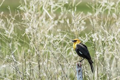 Photograph - Yellow-headed Blackbird, No. 2 by Belinda Greb